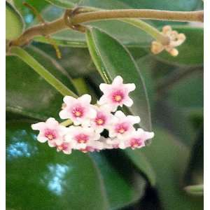 Scented Mini Wax Plant   Hoya   Great House Plant   6 Hanging Pot