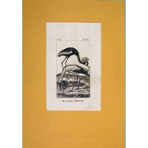 Baleric Crane White Stork Birds Fine Art Antique Print