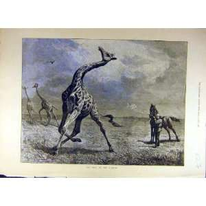 1884 Giraffe Hunt Wild Animal Hunting Shoot Old Print