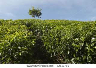 India, Kerala, Munnar, Tea Estates, Mountain, Plateau, Tea Leaves, Tea